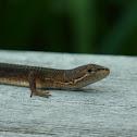 Japanese Grass Lizard