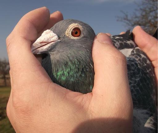 Racing Pigeons Master Three