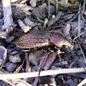 Körniger Laufkäfer (Granulated Ground Beetle)