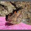 Spotted Jester (Symbrenthia hypselis cotanda)