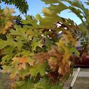 Oak (possibly Texas Oak)