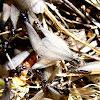 termita alada