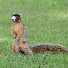 Bachman's Fox Squirrel