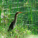 Green (alternately Striated) Heron