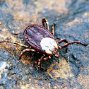 Rocky Mountain Wood Tick