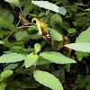 Yellow Balsam