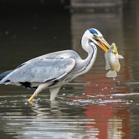 Grey Heron (Ardea cinerea) by BoonHong Chan - Animals Birds ( bird, bird with prey, park, grey heron, lake, heron )