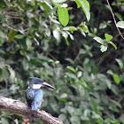 Amazon Kingfisher, fe