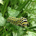 Black Swallowtail caterpillar