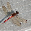 Autumn Meadowhawk dragonfly (male)