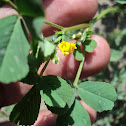 toothed bur clover