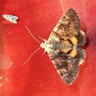 Oak Yellow Underwing Moth