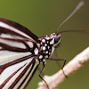 Dark Glassy Tiger Butterfly