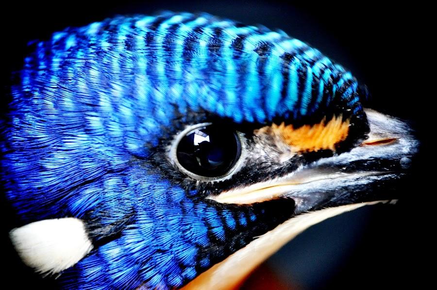 Kingfisher by Qodarian Pramukanto - Animals Birds ( kingfisher )