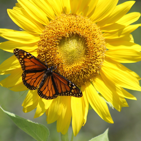 Monarch on Sunflower by Patti Westberry - Animals Insects & Spiders ( monarch butterfly, butterfly, florida monarch butterfly, monarch, flying flower,  )
