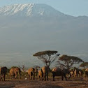 African Elephants in front of Killimanjaro