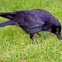 Gralha-preta....Carrion Crow