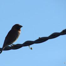 Burung Bogor - Birds of Bogor