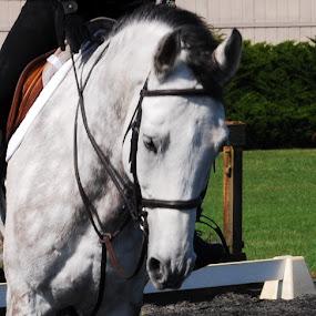 Grace under pressure by James Meyer - Animals Horses