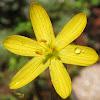 Golden-Eyed Grass Blossoms