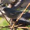Black Redstart; Colirrojo Tizon