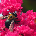 Carpenter Bee on Crape Myrtle