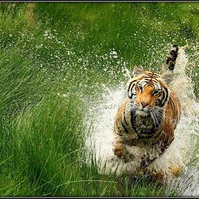 Got ja by Romano Volker - Animals Lions, Tigers & Big Cats (  )