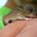 Marsh Rice Rat (juvenile)