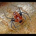 spider~male
