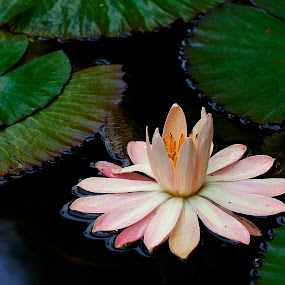 by Juanito Bumactao - Flowers Single Flower (  )