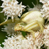 Crab Spider - Misumenoides formosipes