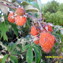 Silky-leaved Berry