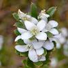 Twiggy Wax-flower