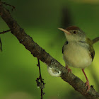 The Common Tailorbird