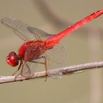 Dragonflies of Java