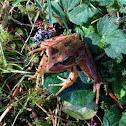 Cascades frog (juvenile)