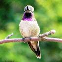 Black Chinned X Anna's Hummingbird