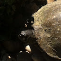 Texas River Cooter