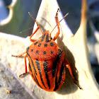 Chinche rayada. Bug