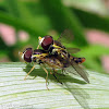 Syrphid Fly - mating pair