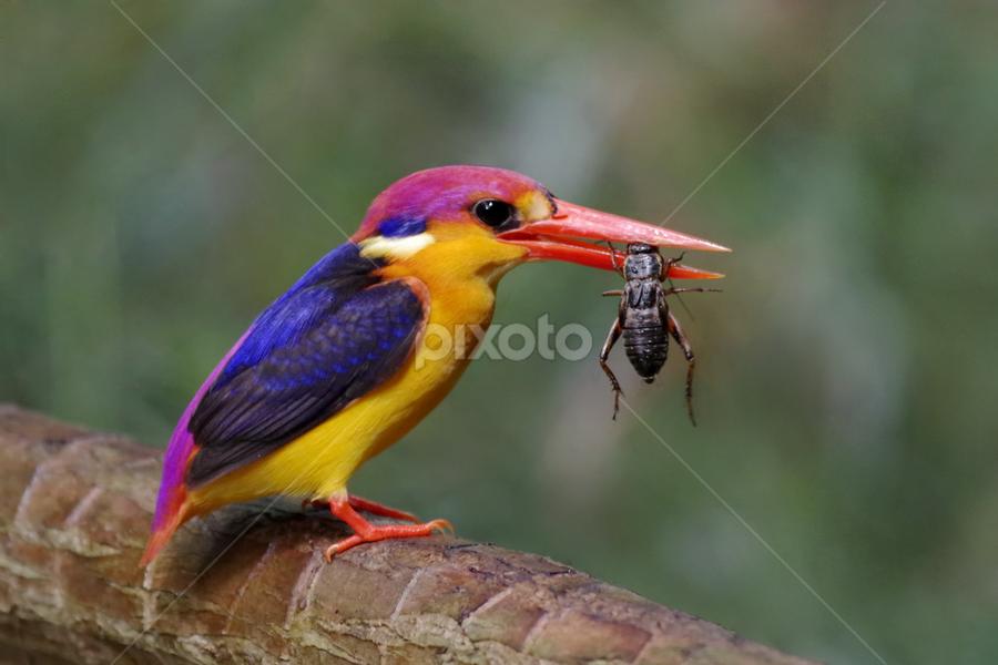 Kingfisher - cricket for dinner by Ken Goh - Animals Birds (  )