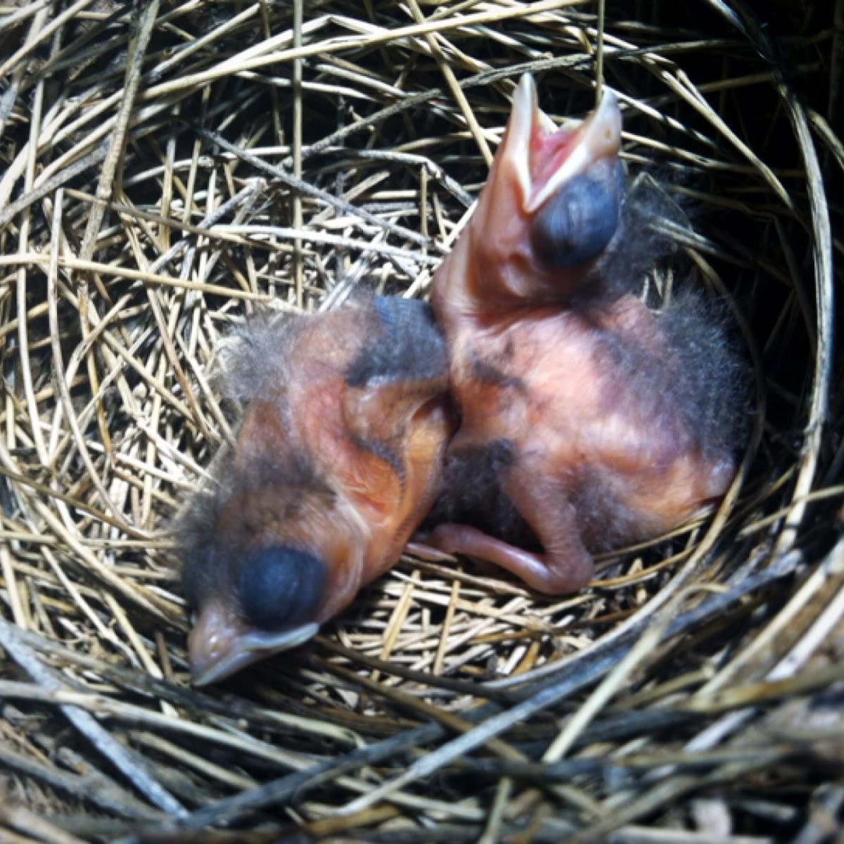 Cardinal (Newborn)