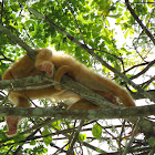 Howler monkey (albinos)