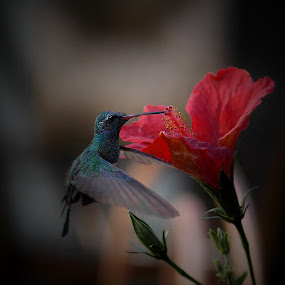 hibiskiss by John Kolenberg - Animals Birds ( jardine, #garyfongdramaticlight, colibri, #wtfbobdavis, nature,  )