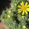 Euryops pectinatus. Margarita amarilla, margaritero gris.