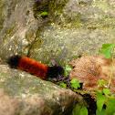 Woolly Bear Caterpillar (Isabella Tiger Moth Larva)