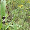 Common Buckmoth