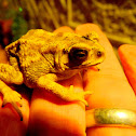 Black-spectacled Toad