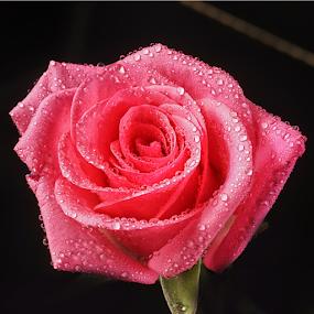 Rose with drops by Cristobal Garciaferro Rubio - Flowers Single Flower ( flwoers, petals, drop, drops, flower, petal )