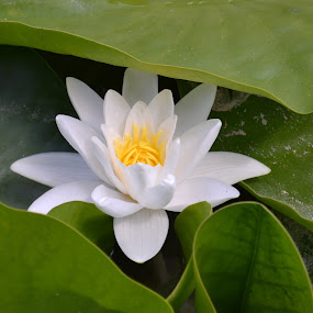 lotus by Rux Georgescu - Flowers Single Flower ( lotus, lotus flower )
